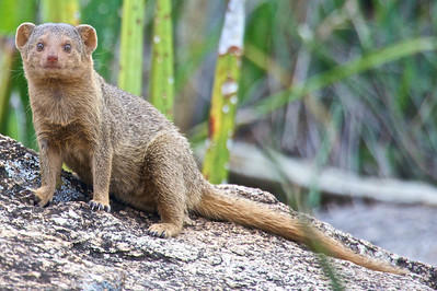 Dwarf mongoose at picnic