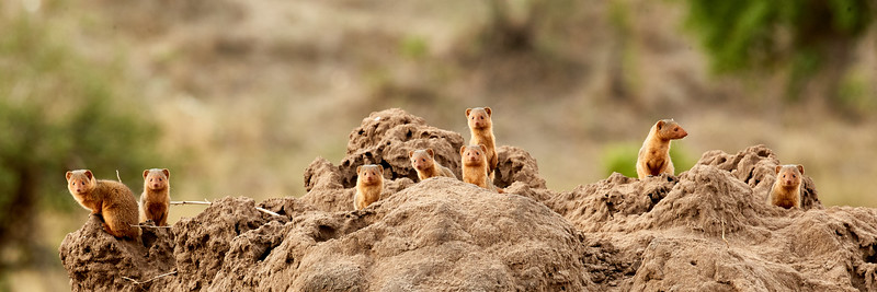 Dwarf Mongoose Popup