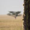 Leopard climbing Tree