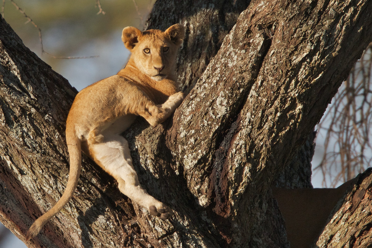 Young lion cub up a tree
