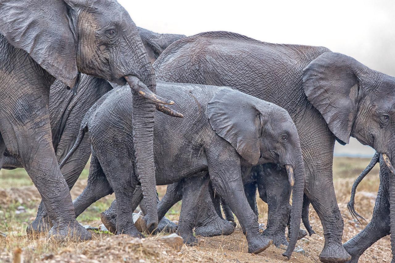 Elephant March Serengeti