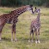 Masai Girrafe Giraffa camelopardalis