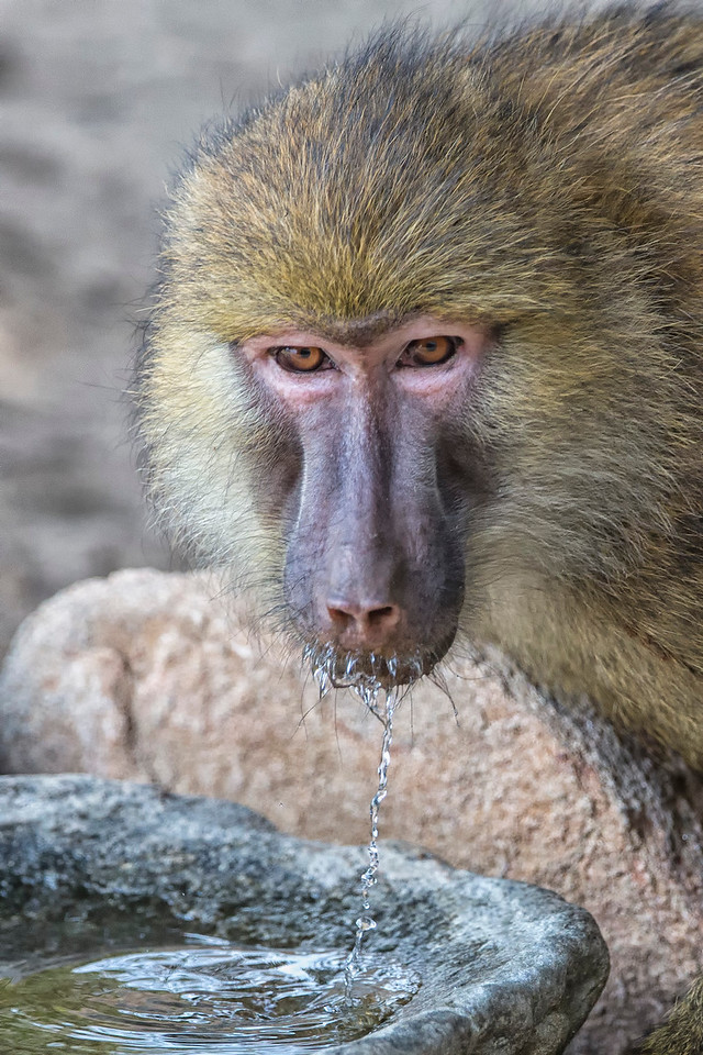 Drinking Yellow Baboon Mahale