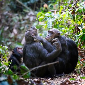 Chimp Grooming