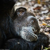 Bonobo sleeping