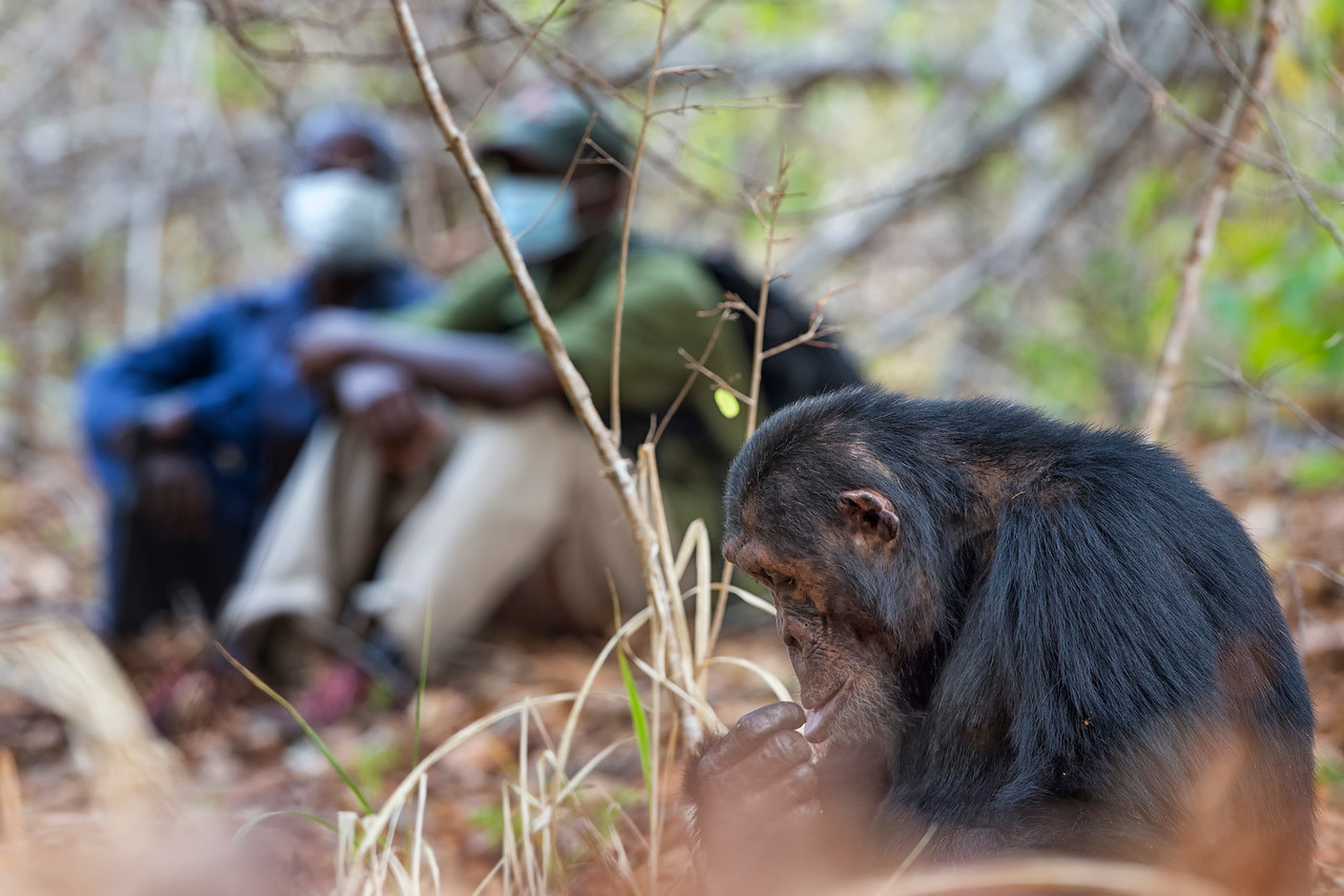 The chimps of Mahale are a  habituated group that have been studied since 1964.