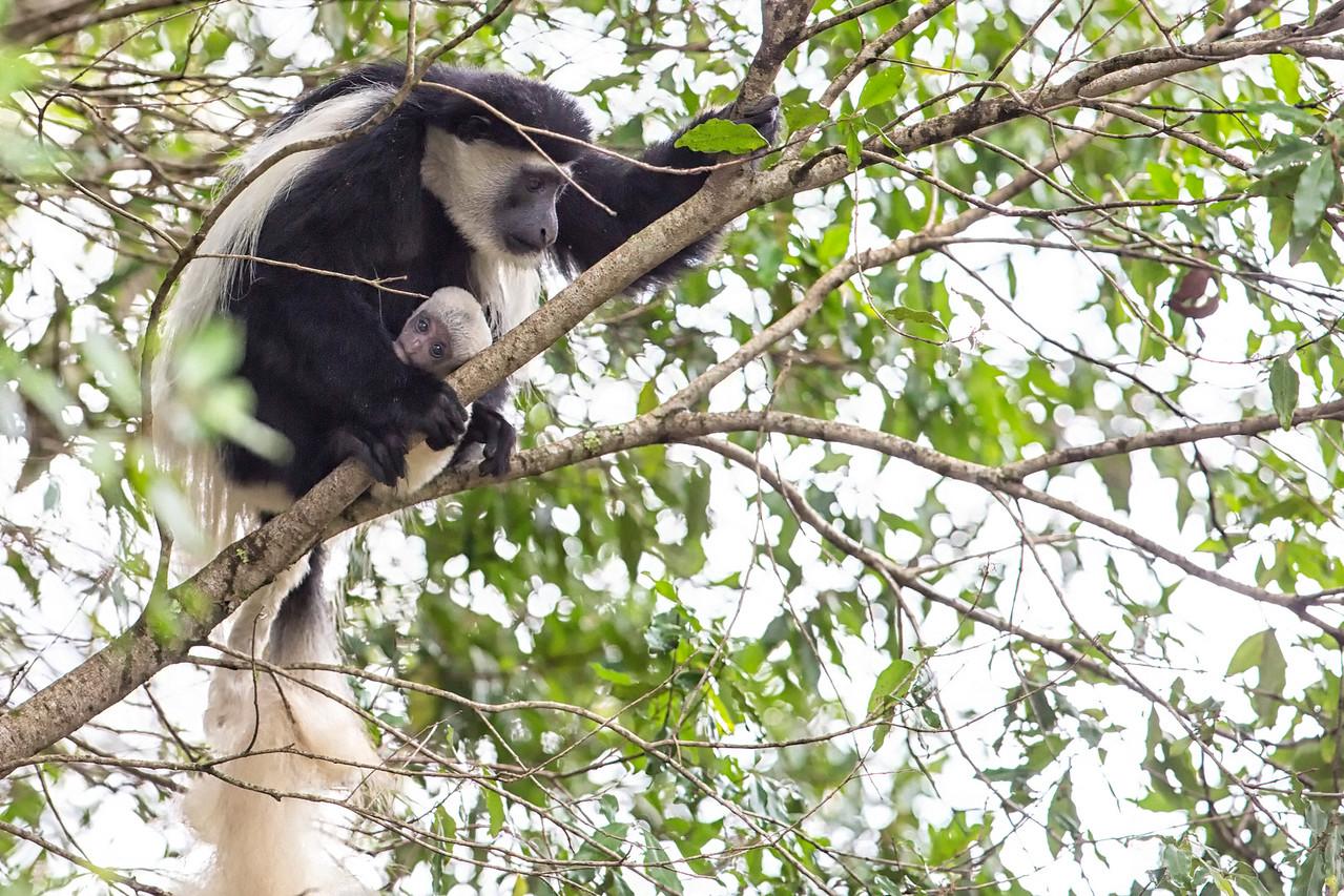 Black & White Colobus, Arusha National Park