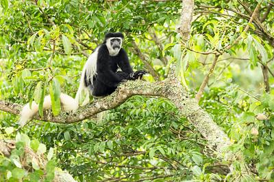 Black & White Colobus Arusha Tanzania