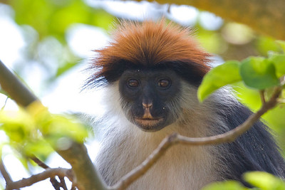 Red Colobus, the Iringa Red Colobus