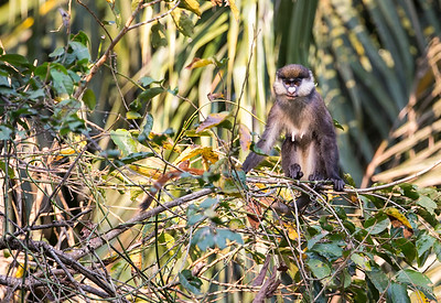 Red tailed Monkey, Mahale, Tanzania