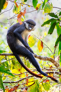 Red Tailed Monkey Mahale Tanzania