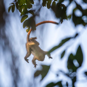 Falling Red-tailed Monkey Mahale Tz