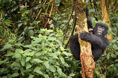Rwanda Gorillas Agashya Group