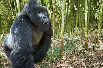 Rwanda Gorillas Sabyinyo Group