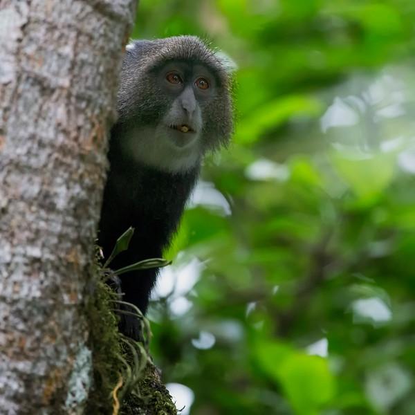 Blue Monkey Cercopithecus mitis