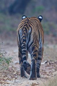 Tiger male