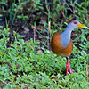 Gray-necked Wood-rail (Aramides cajanea)