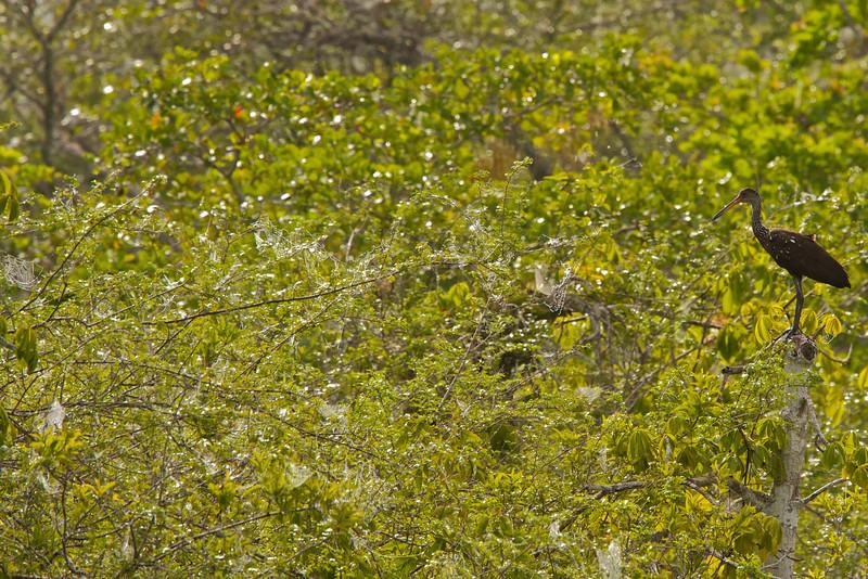 Limpkin (Aramus guarauna)
