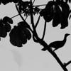 Plain Chacalaca (Ortalis vetula)