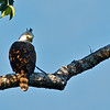 Ornate Hawk-Eagle Spitzaetus tyrannus)