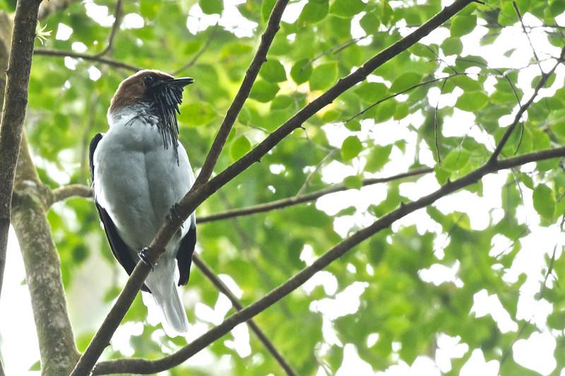 Beared Bellbird Procnias averano