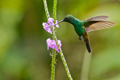 Copper-rumped hummingbird Amazilia tobacierythronotus
