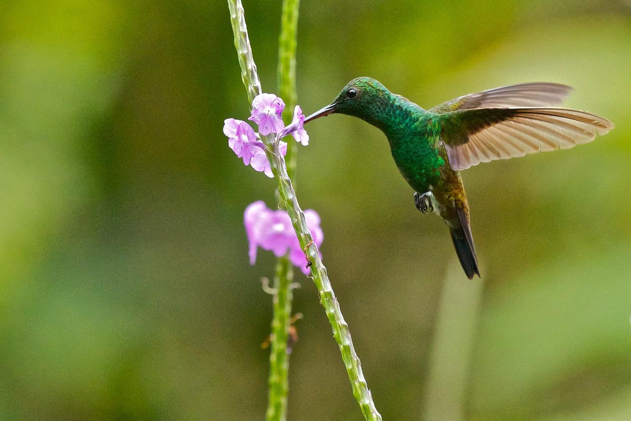 Copper-rumped hummingbird Amazilia tobacierythronotus