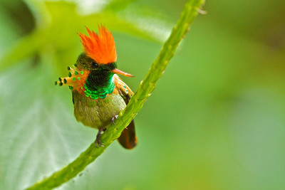 Tufted Coquette Lophornis ornatus