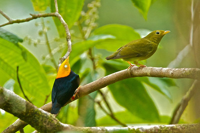 Golden Headed Manakin, Pipra erythrocephala