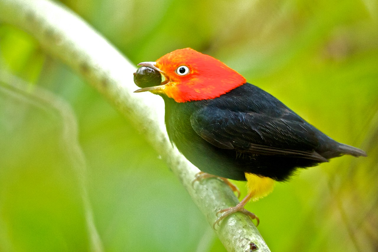 Red-capped Manakin (Pipra mentalis)