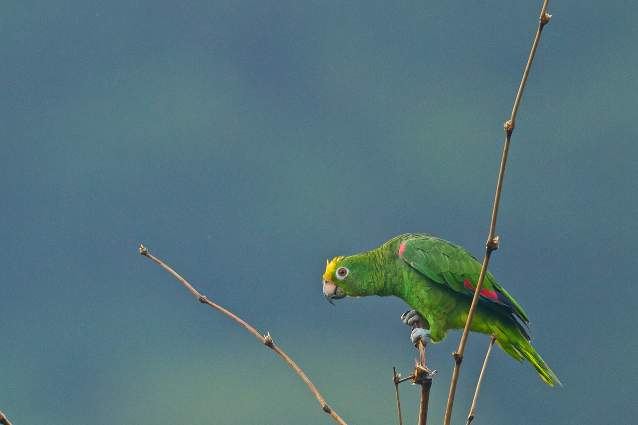 Orange-winged Amazon Amzona amazonica