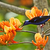 Red-legged Honeycreeper Cyanerpes cyaeneus