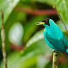 Green Honeycreeper Chlorophanes spiza