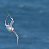 Red-billed Tropicbird Phaethon aethereus