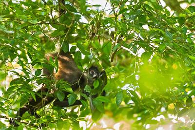 Spider Monkey (Atelrs geoffroyi)