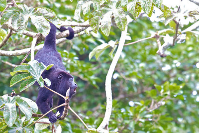 Yucatan Black Howler (Aloutta pigra)