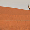 Arabian Oryx doing what they do best