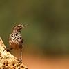 Desert Wren