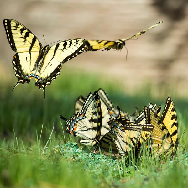 Swallowtail Water Pennsylvania