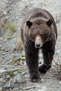 Grizzly - Bute Inlet VII