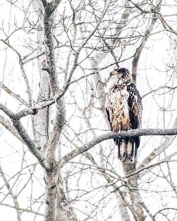 A Juvenile Bald Eagle