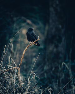 The Noble Crow at Dawn