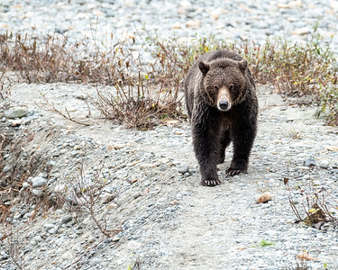 Grizzly - Bute Inlet VI