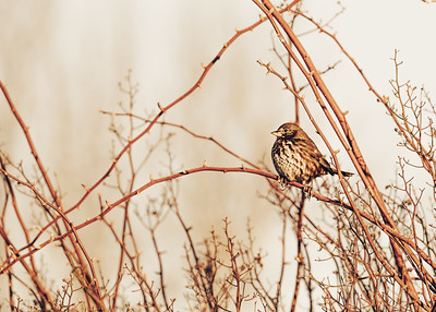 Sparrow at Sunrise