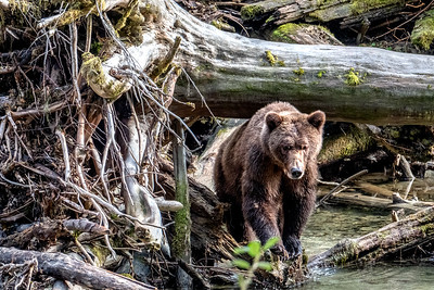 Grizzly - Bute Inlet III