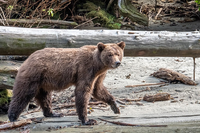 Grizzly - Bute Inlet V