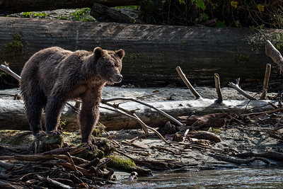 Grizzly - Bute Inlet I
