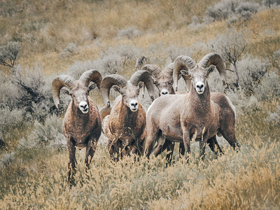 A Gang of Mountain Sheep