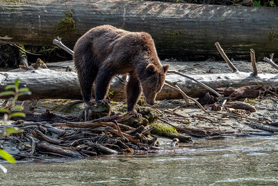 Grizzly - Bute Inlet II