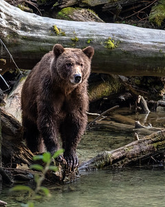 Grizzly - Bute Inlet IV
